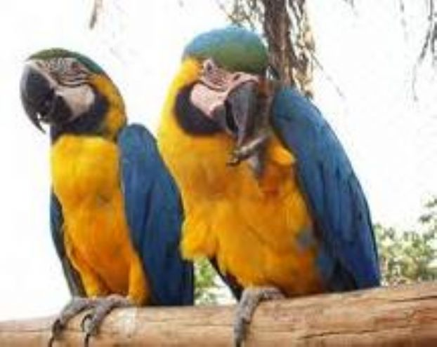 macaw from the amazon raing forest