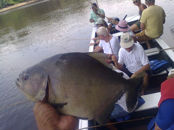 Biggest Amazon Black Piranha